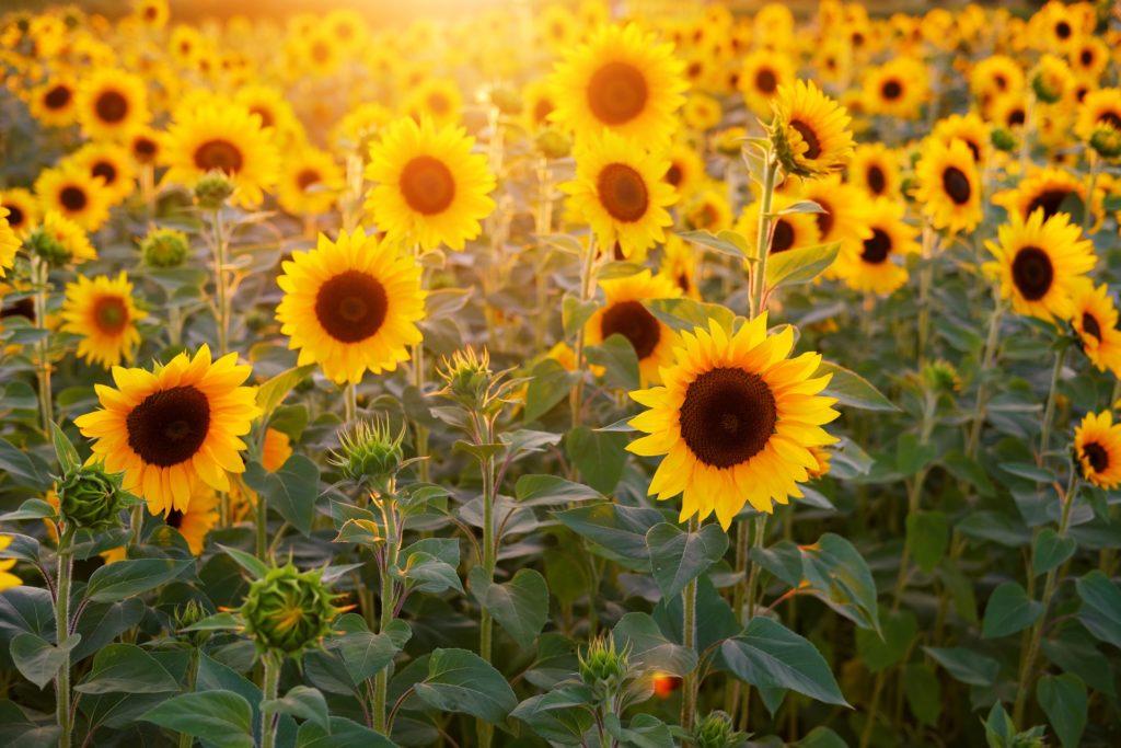 Фото соняшникове поле ЦІІАТ