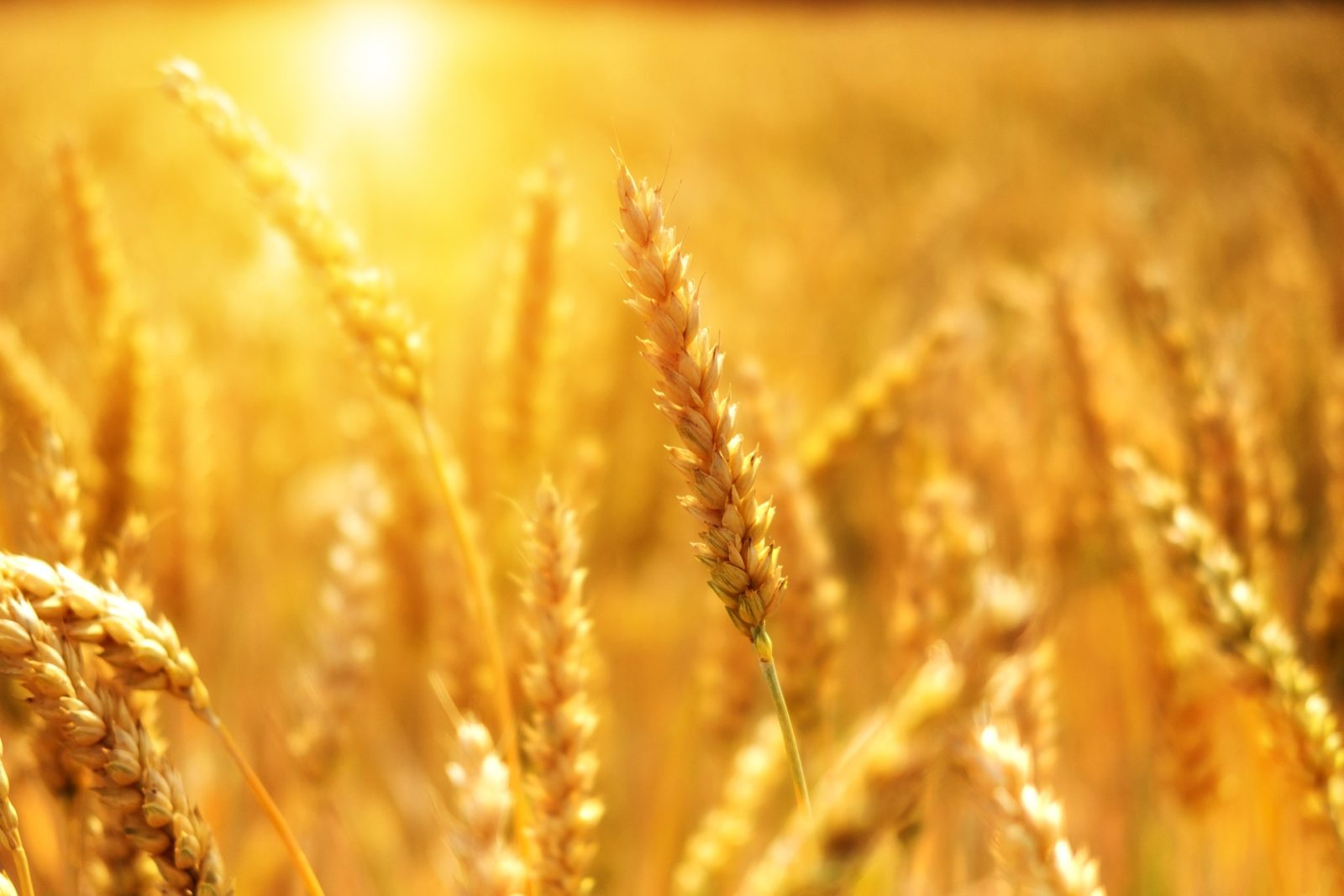 Фото пшеничне поле ЦІІАТ